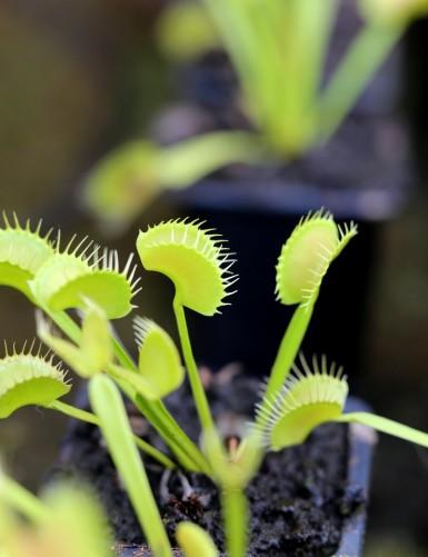 Dionaea muscipula 'Dentate'...