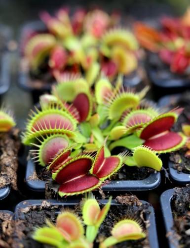 Dionaea muscipula 'Fine...