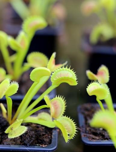 Dionaea muscipula 'Shark...