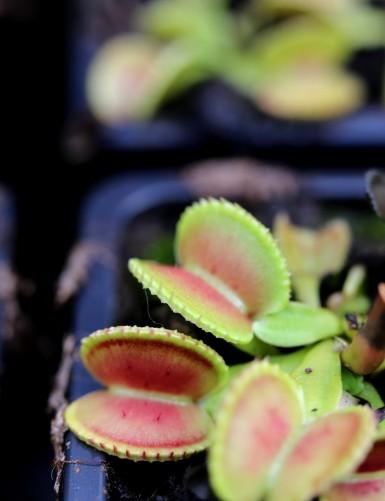Dionaea muscipula 'Coquillage'