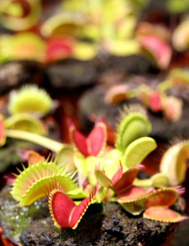Dionaea muscipula -...