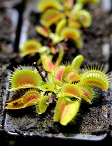 Dionaea muscipula 'Giant...