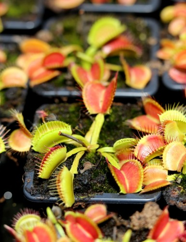 Dionaea muscipula...