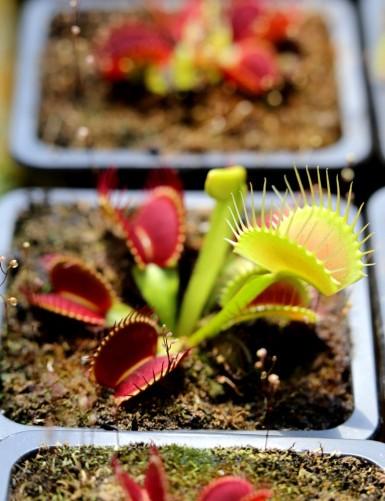 Dionaea G14