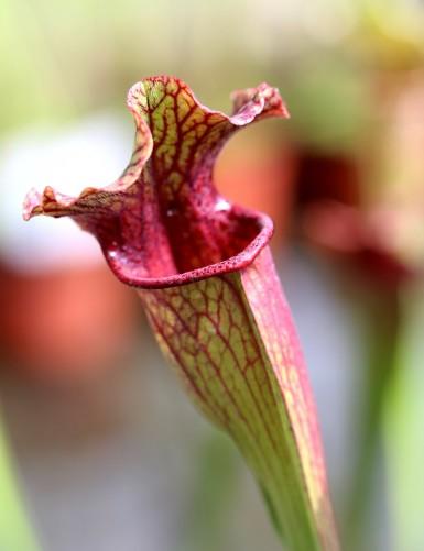 Sarracenia x 'Evendine'