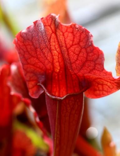 Sarracenia x 'Paradisia Red...