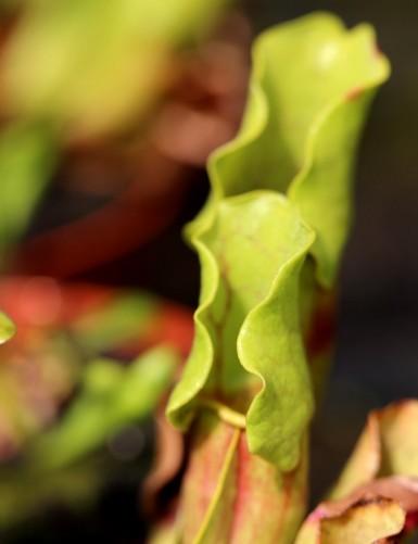 Sarracenia purpurea Clone 1