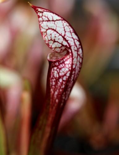 Sarracenia x wrigleyana...