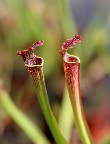 Sarracenia x farnhamii