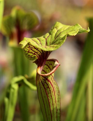 Sarracenia flava ornata x...