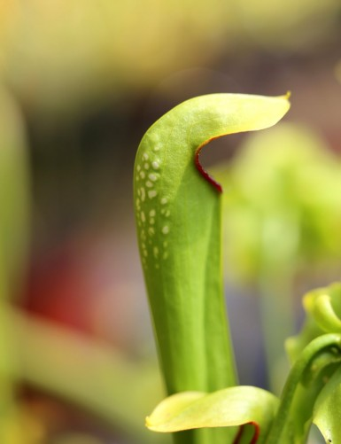 sarracenia minor var...