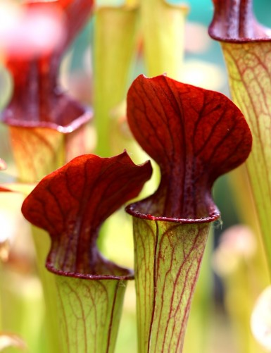 Sarracenia alata red throat