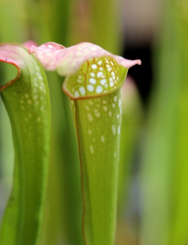 Sarracenia x excellens red...