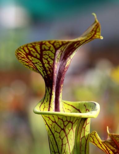Sarracenia flava var. ornata