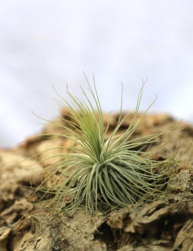 Tillandsia magnusiana - 6 à...