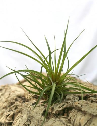 Tillandsia cyanea - 15 à 20 cm