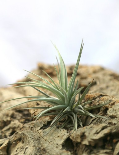 Tillandsia jucunda - 5 à 8 cm