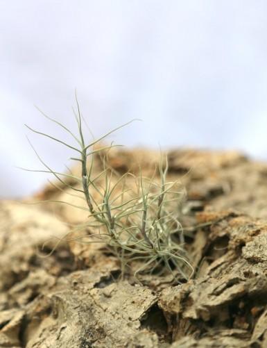 Tillandsia caerulea - 12 à...