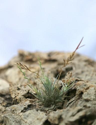 Tillandsia loliacea - 3 à 4 cm