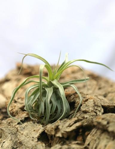 Tillandsia streptophylla -...
