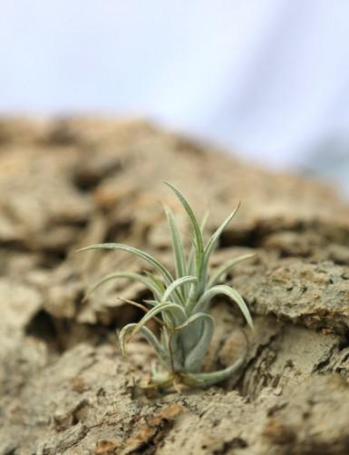 tillandsia pueblensis - 5 à...