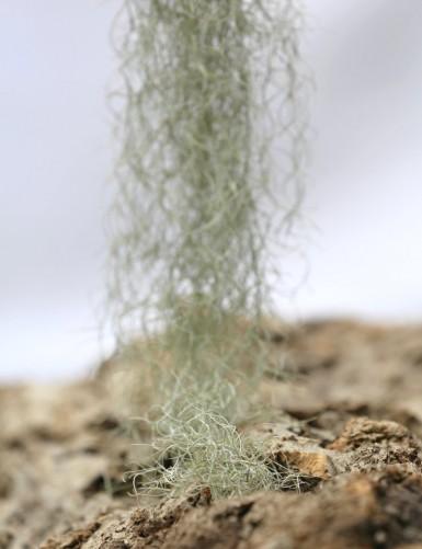 Tillandsia usneoides 'forme...