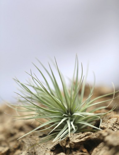 Tillandsia Houston - 8 à 12 cm