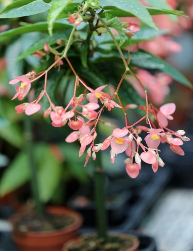 Begonia tamaya (maculata)
