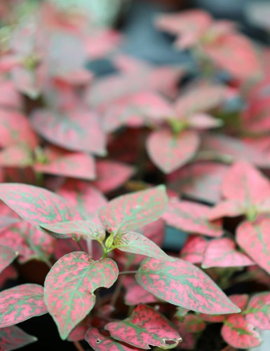 Hypoestes rouge