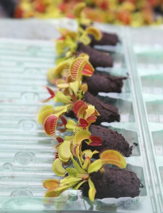 Mottes de Dionaea muscipula...