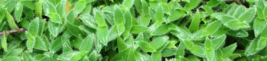 Vente de plantes pour terrarium, paludarium, mur végétal