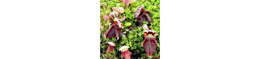 Cephalotus follicularis plante carnivore vente en ligne